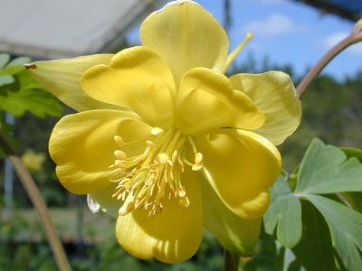 hinkeys-columbine-lbj-wild-flower-center.jpg