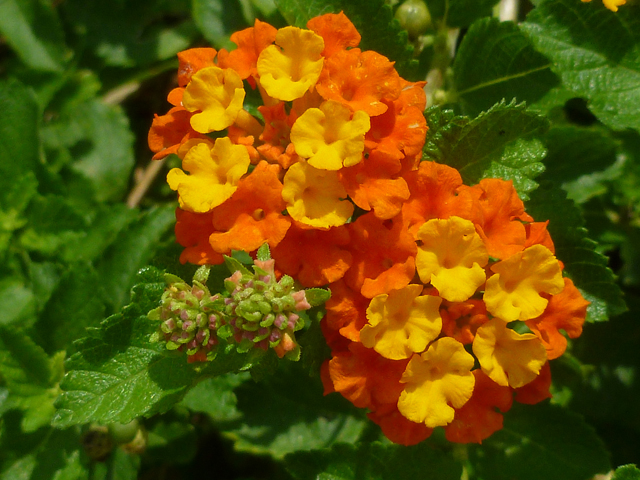texas-lantana-lbj-wild-flower-center.jpg