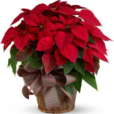 Poinsettia_in_a_brown_basket_at_Scent_and_Violet_florist_in_Houston.jpg