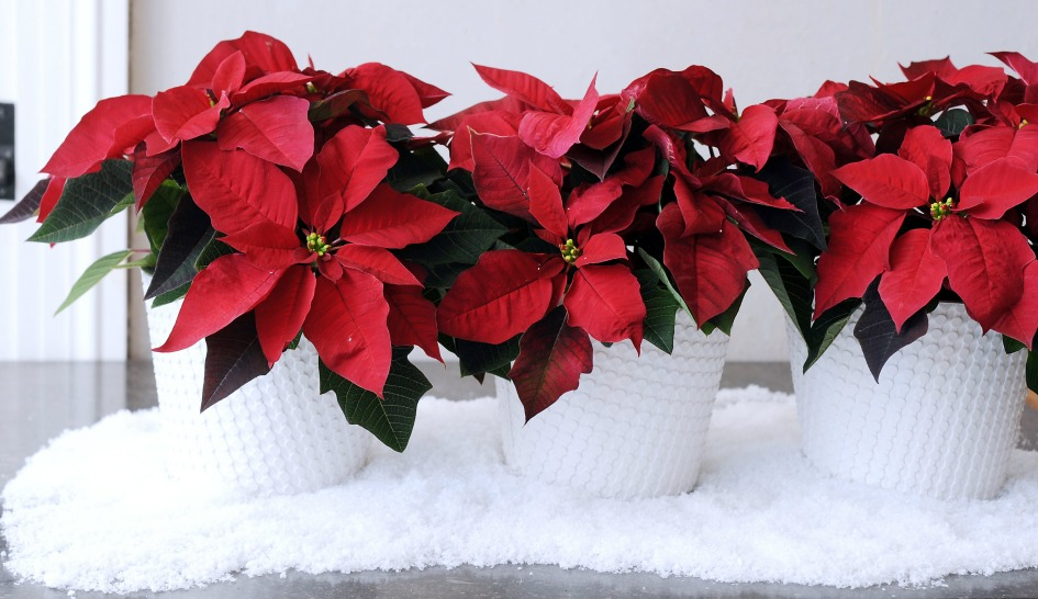 Poinsettias_at_Scent_and_Violet_florist_in_Houston.jpg