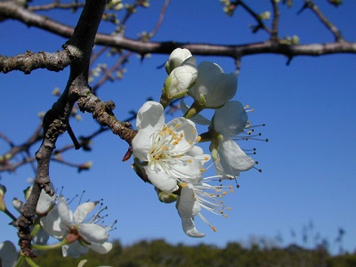 mexica-plum-tree-lbj-wild-flower-center.jpg