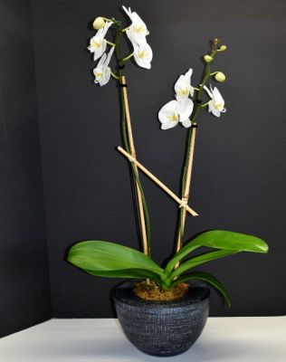 White Orchid Plant in Black in Houston, TX