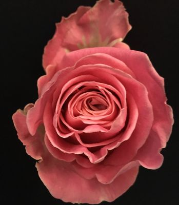 Antique pink rose  in Houston, TX