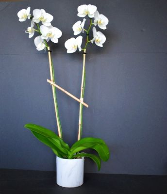 White Orchid Plant in Houston, TX