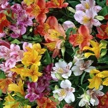 Assorted alstroemeria  in Houston, TX