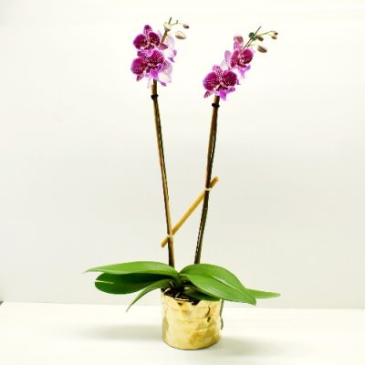 Purple Orchid Plant in Gold in Houston, TX