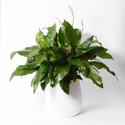 Contemporary Peace Lily Plant in Houston, TX