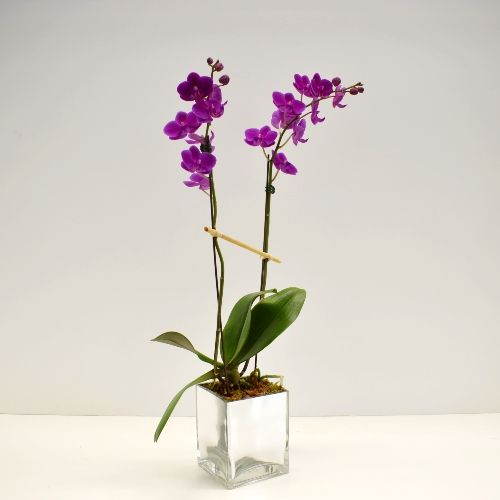 Purple Orchid Plant in Houston, TX