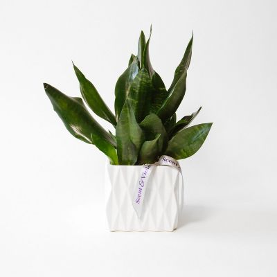 SOLD OUT Sansevieria Plant in Houston, TX