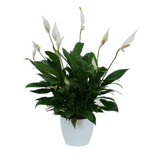 TMF-629_Peace_Lily_Plant_in_Ceramic_Container.jpg