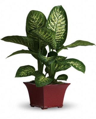 Dieffenbachia Plant  in Houston, TX